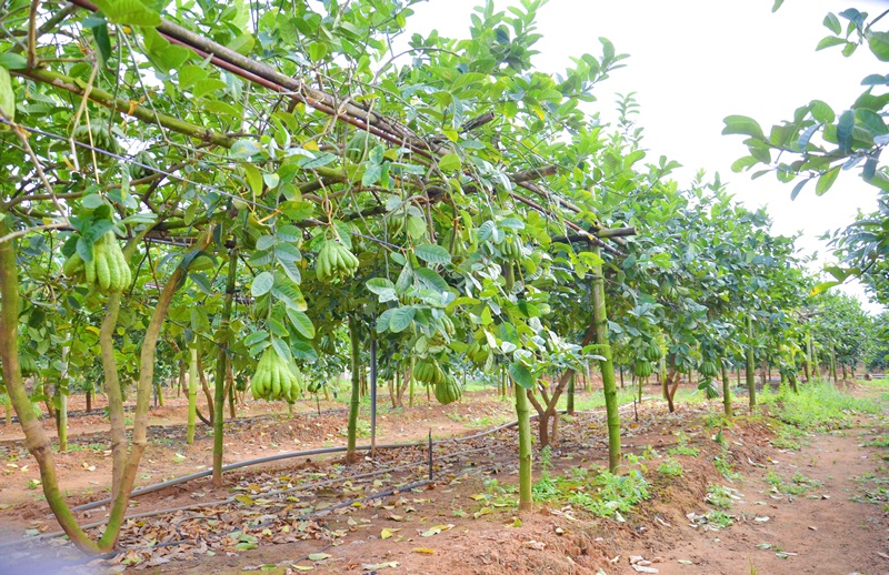 Quang Ninh province's finger citron fruits welcome Tet