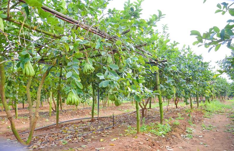 Quang Ninh province's finger citron fruits welcome Tet