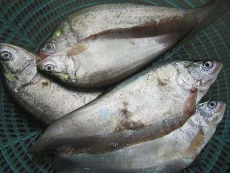 'Thac lac' fish, a specialty and pride of Hau Giang