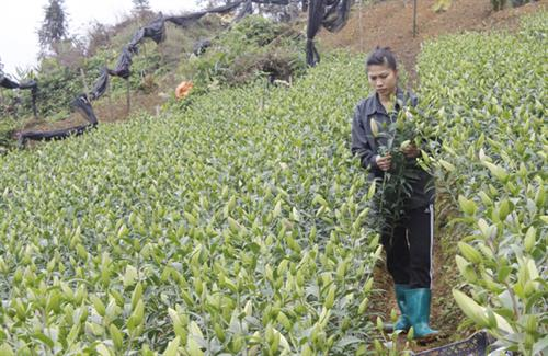 Lao Cai province invests over VND11 billion for hi-tech flower production