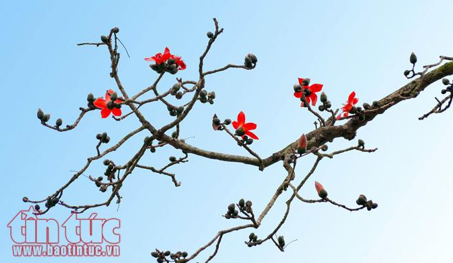 March charming with bombax ceiba blooms