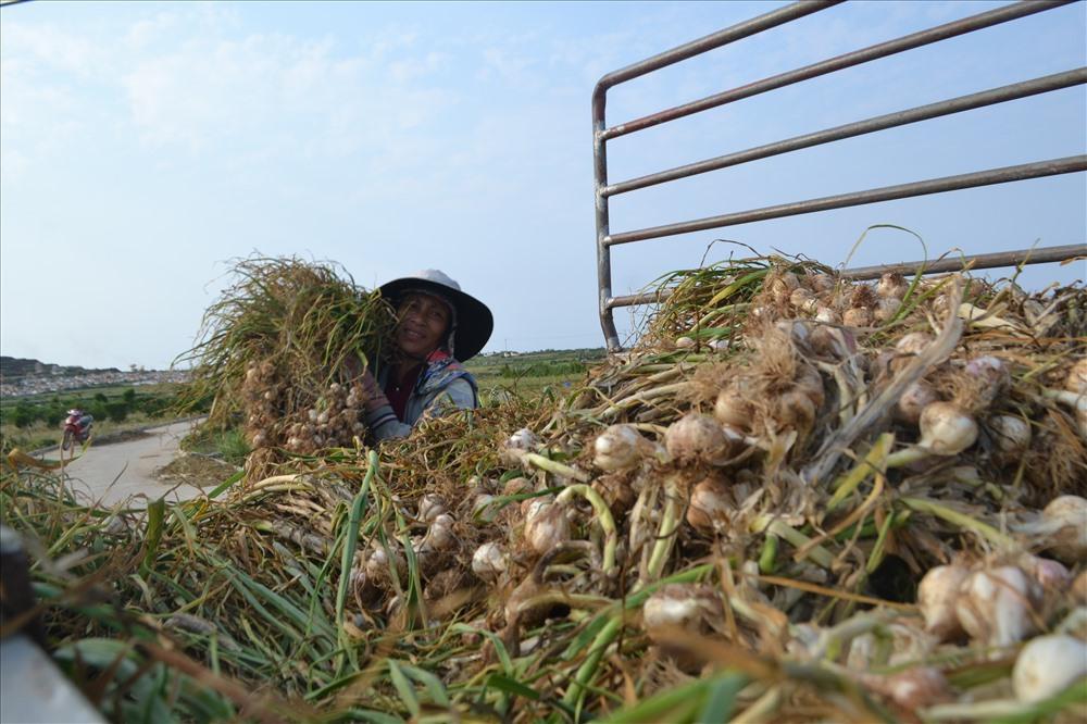 Ly Son island farmers get bumper garlic season