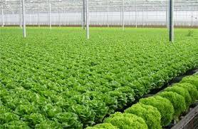 Hanoi: Vegetable production under VietGAP standards has difficulty expanding area