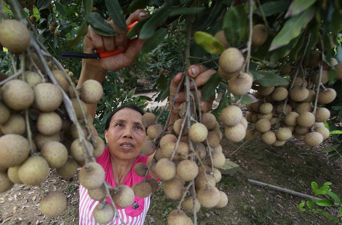 Hung Yen province in longan harvesting season