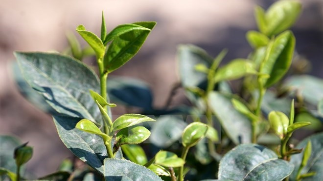 Vietnam's tea exports still in downtrend