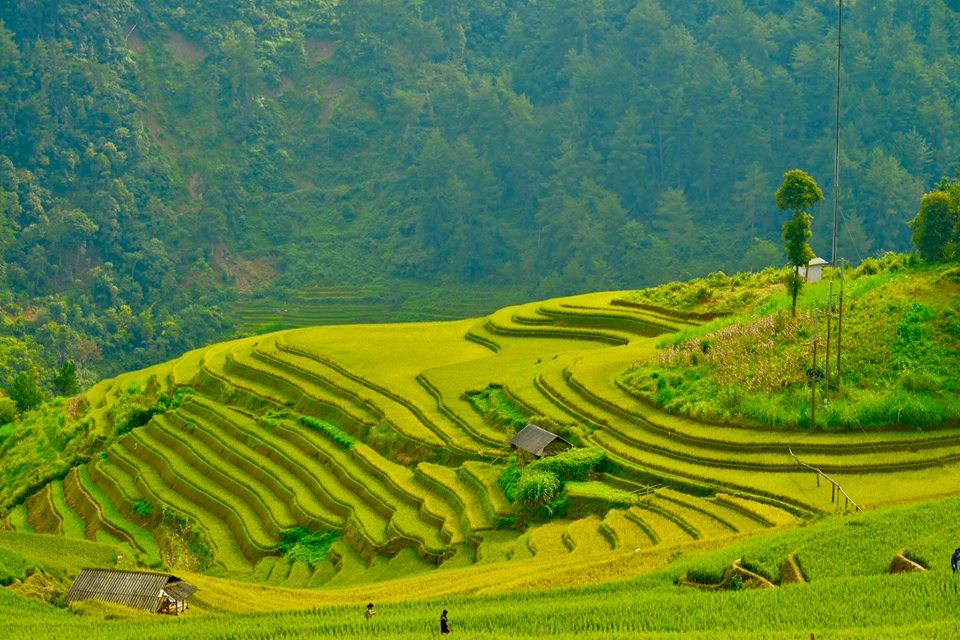 Watching the golden season on Mu Cang Chai highland