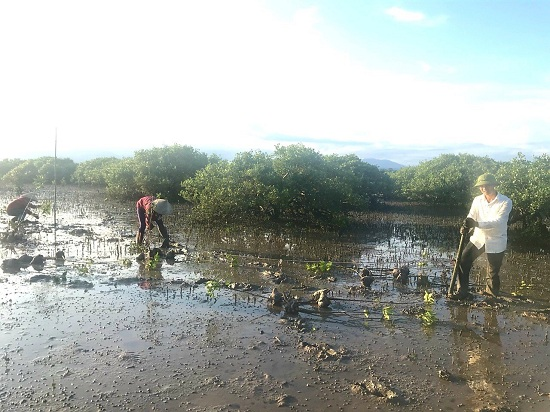 More than 20ha of mangrove forest planted in Quang Ninh