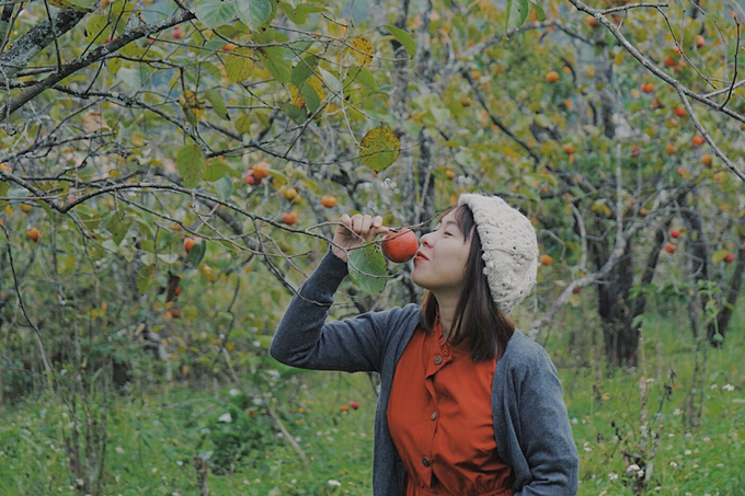 Persimmon orchards attract visitors