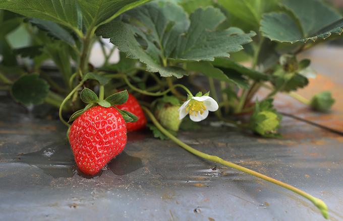 Vietnam's largest strawberry farm on Moc Chau plateau