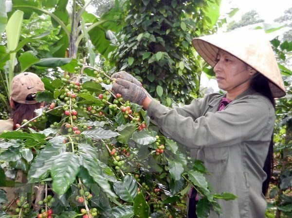 Vietnam's coffee exports to Algeria rise sharply