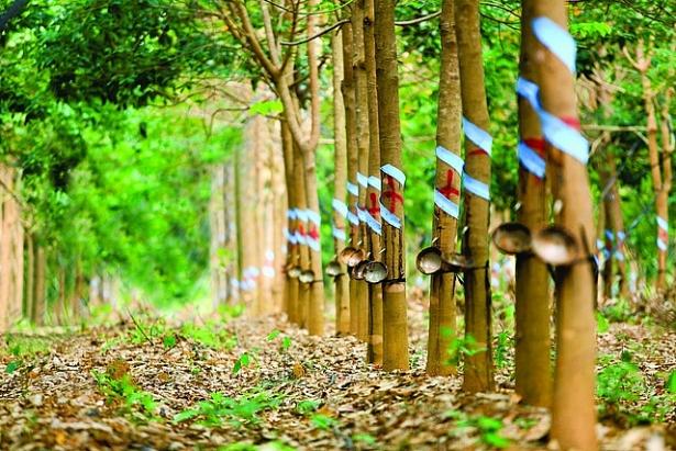 Vietnamese companies develop rubber plantation in Cambodia