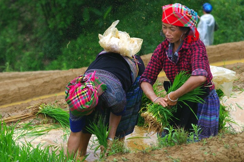 Rice production in highlands areas