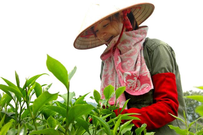 Tan Cuong land of tea specialty