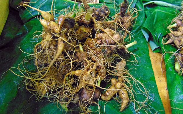 Quang Nam earns nearly VND10 billion from Ngoc Linh ginseng