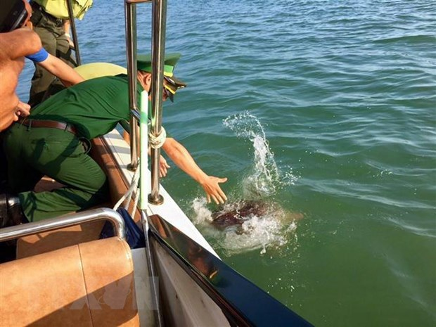Quang Ninh releases green sea turtle into natural environment
