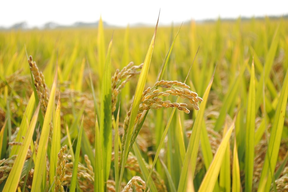 Fourth Vietnam Rice Festival to take place in Vinh Long in mid-December