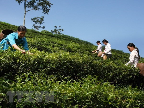 Vietnam exports 14,200 tonnes of tea to Taiwan (China) in nine months