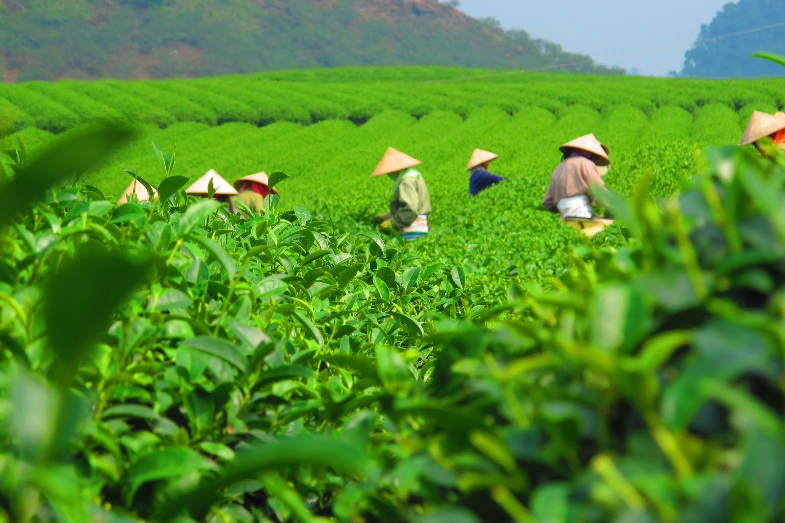 Vietnam is biggest tea provider to Taiwan (China)
