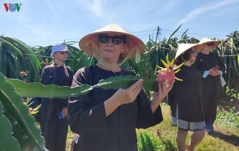 Binh Thuan launches tours to local dragon fruit gardens