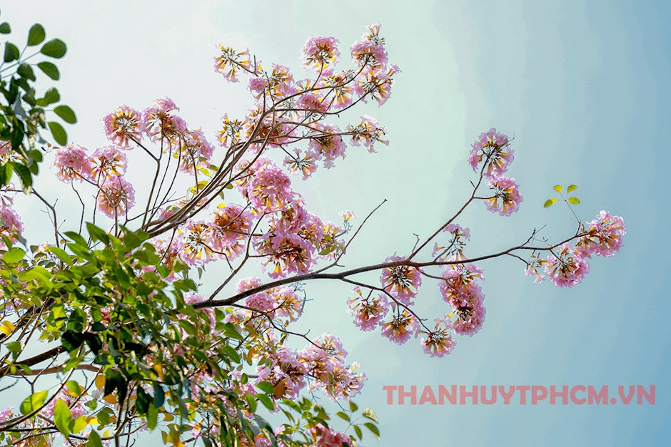 Rosy trumpet flowers bloom in Ho Chi Minh City
