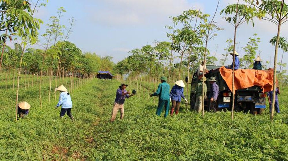 Job opportunity in export fruit farm for Vietnamese people in Cambodia