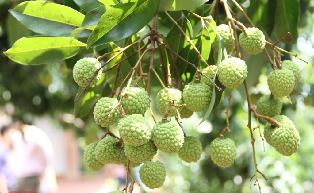 Northern province develops 281 hectares of litchi standard for exports to large markets