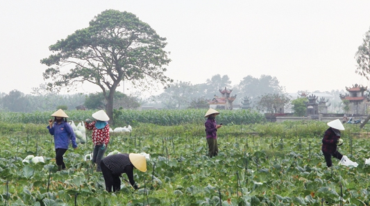 Thanh Hoa: More than 100 tons of cabbage exported to RoK