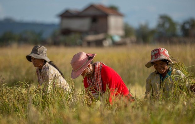 Cambodia's rice exports surge in first four months