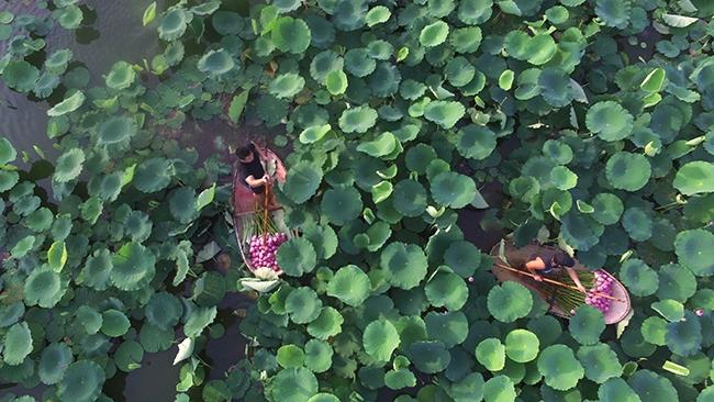 Hanoi lotus season