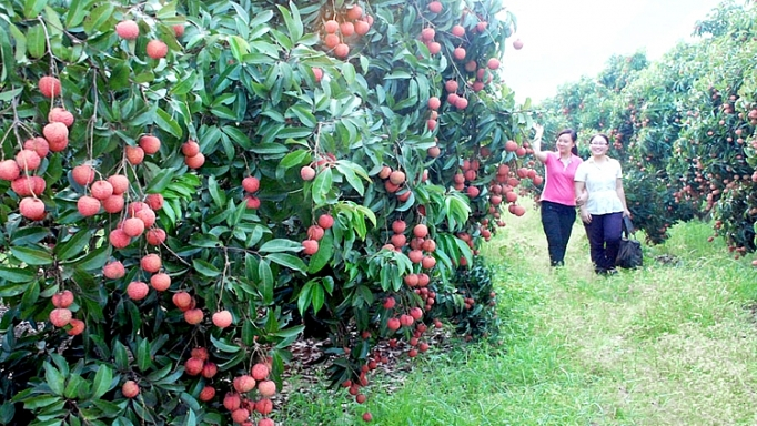 Japanese experts poised to inspect Luc Ngan lychee exports
