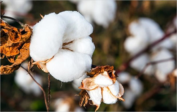 India looks to boost cotton exports to Vietnam