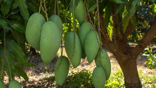 Vietnamese green mango exports to Australia double in H1