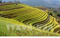 Yen Bai to host Mu Cang Chai Terraced Field Festival