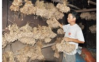 Geographical indication given to An Thinh garlic