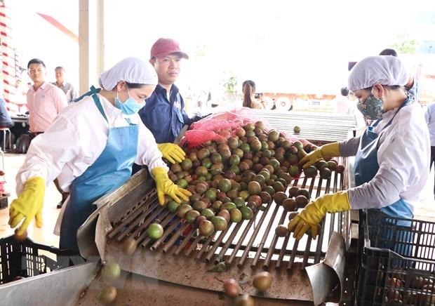 Gia Lai exports 100 tonnes of passionfruit to EU under EVFTA