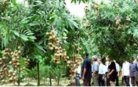 Hanoi plants 1,000 hectares of hi-tech fruit areas