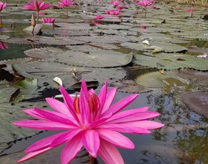 Lilies bloom on Yen Stream at Huong Pagoda