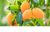 Vietnam's mango exports to US increases