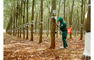Rubber export estimated at 2.38 billion USD in 2020