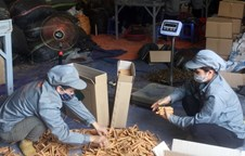 Lao Cai's cinnamon products exported to nine countries