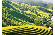 Terraced rice fields in Ha Giang's Hoang Su Phi district to be highlighted in culture week