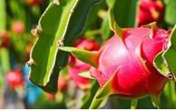 Hai Duong dragon fruit has passport for export to Australia