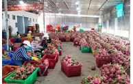 Binh Thuan dragon fruit granted geographical indication protection in Japan