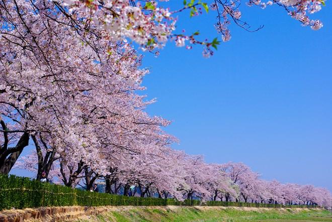 Des cerisiers pour resserrer l'amitié Vietnam-Japon
