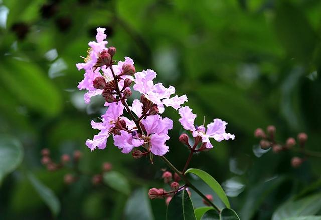 Hanoi à la saison des fleurs Bang Lang