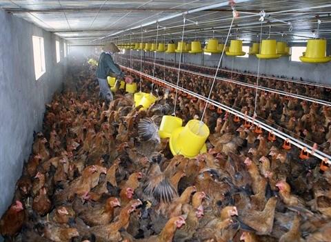 Le premier lot de viande de poulet sera exporté vers le Japon en août