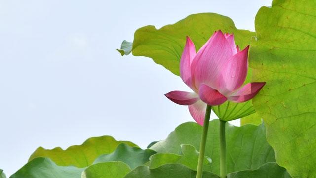 Le lotus et les montagnes de marbre Ngu Hành Son sur le timbre postal saluant l'Année APEC-2017