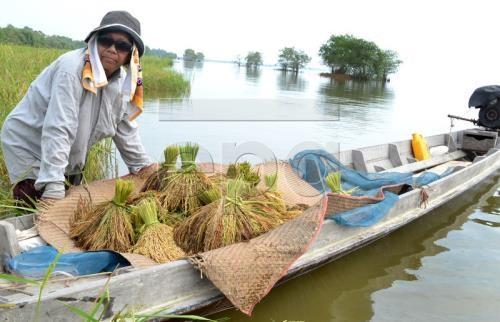 Thaïlande: des mesures visent à stabiliser les prix du riz