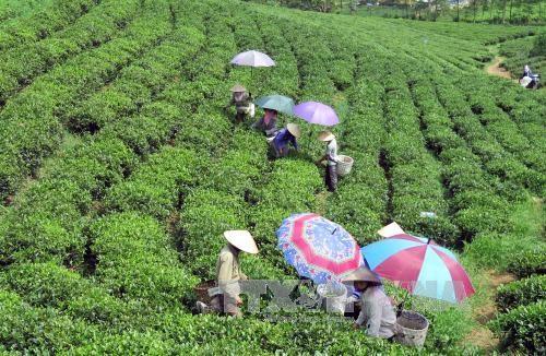 Croissance exceptionnelle des exportations de thé aux EAU