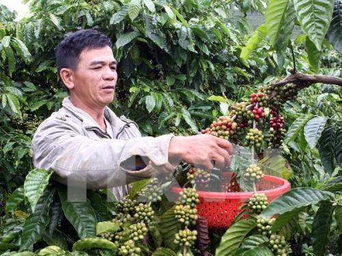 La filière café du Vietnam vise 6 milliards de dollars d'exportation en 2030